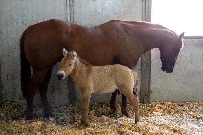 В США впервые клонировали лошадь Пржевальского