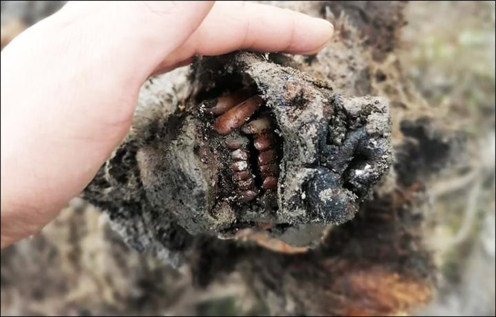 В Якутии нашли замерзшего доисторического медведя