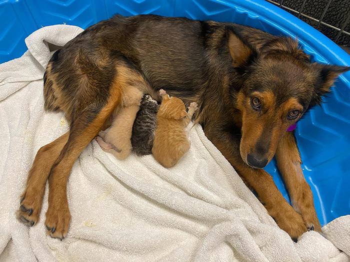 В США спасенная собака стала матерью трех котят-сирот.Вокруг Света. Украина