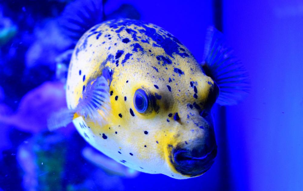 Рыба фугу: где обитает, чем питается и почему опасна?.Вокруг Света. Украина