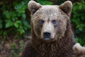 В Калифорнии медведи ходят в магазин за чипсами