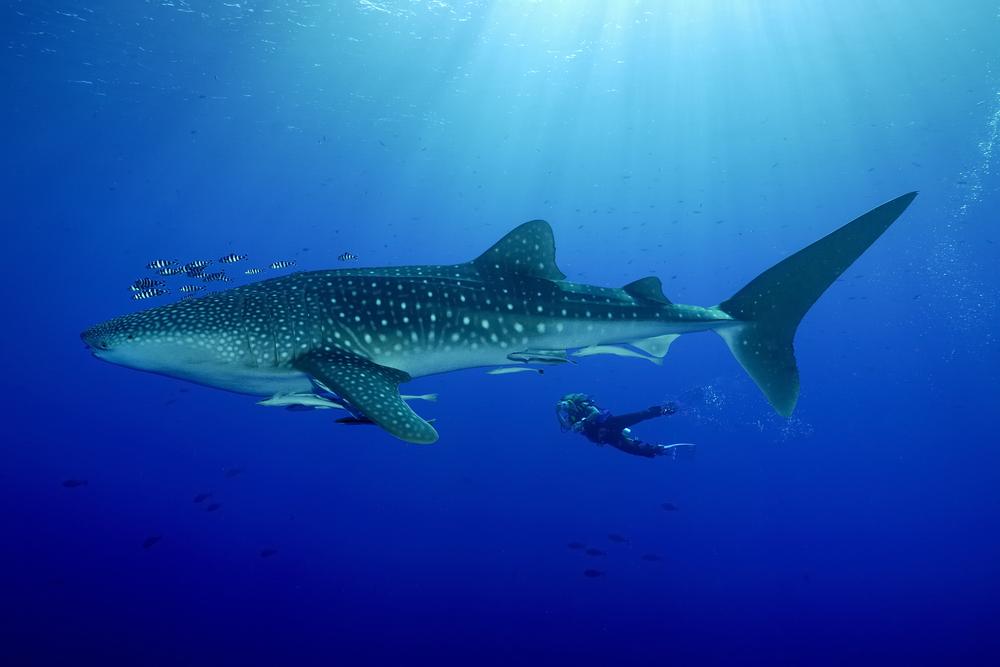 Самку китовой акулы признали самой большой рыбой на Земле.Вокруг Света. Украина