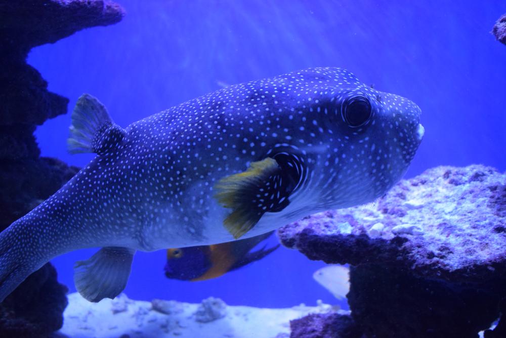 рыба фугу плывет в аквариуме