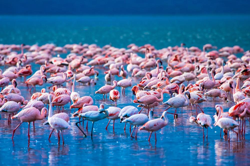 Розовые фламинго вернулись на озеро Накуру в Кении