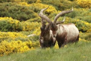 Во французских Пиренеях возрождается популяция горных козлов