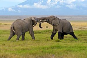 Какую роль играют слоны-самцы в матриархальном обществе своего вида: исследование