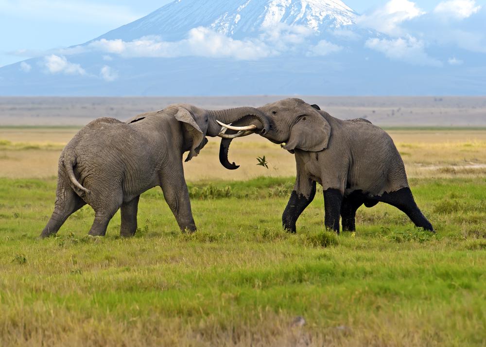 Какую роль играют слоны-самцы в матриархальном обществе своего вида: исследование.Вокруг Света. Украина