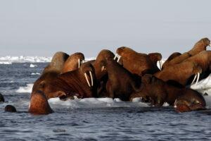 Зимний ледяной покров Берингова моря сократился до минимума