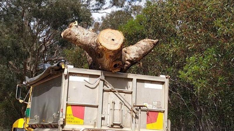 В Австралии ради шоссе срубили священное дерево аборигенов.Вокруг Света. Украина