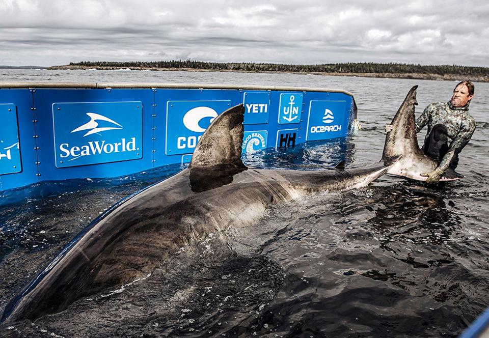 Канадские морские биологи поймали огромную белую акулу.Вокруг Света. Украина