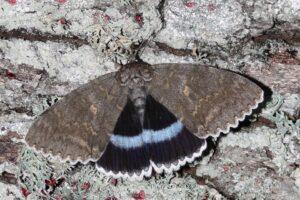 В Чернобыле заметили редкую бабочку размером с птицу
