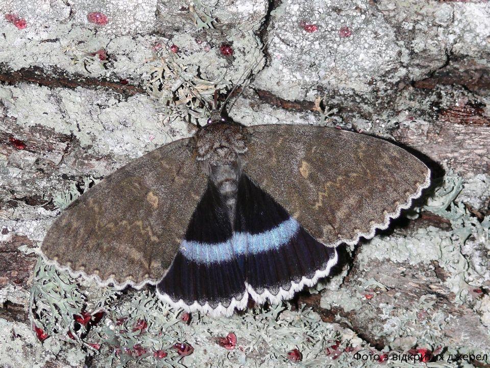 В Чернобыле заметили редкую бабочку размером с птицу.Вокруг Света. Украина