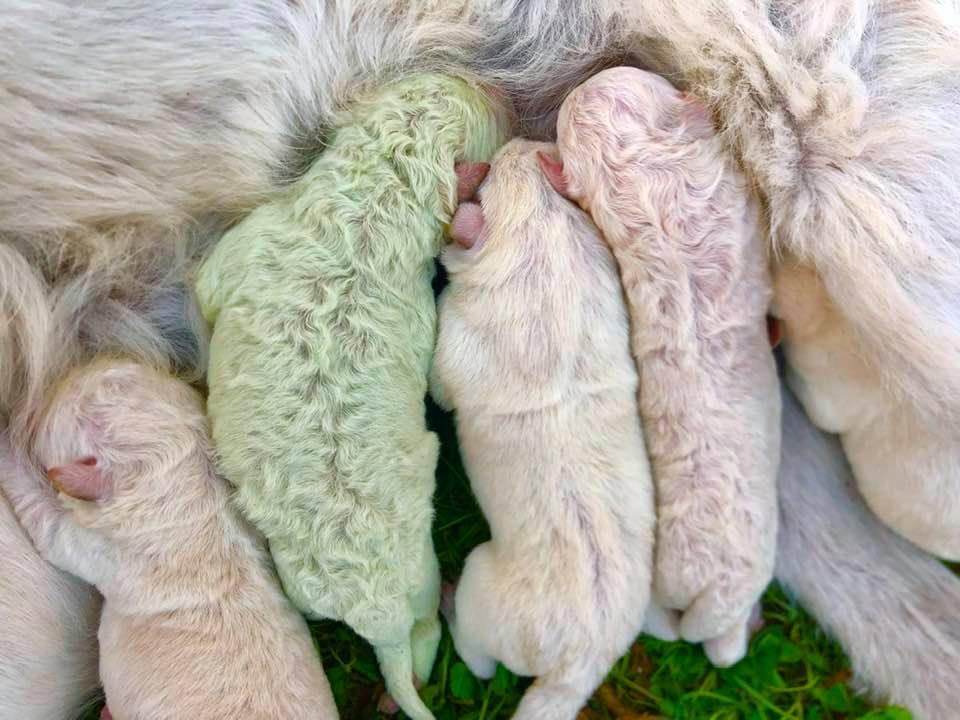 На Сардинии родился редкий зеленый щенок