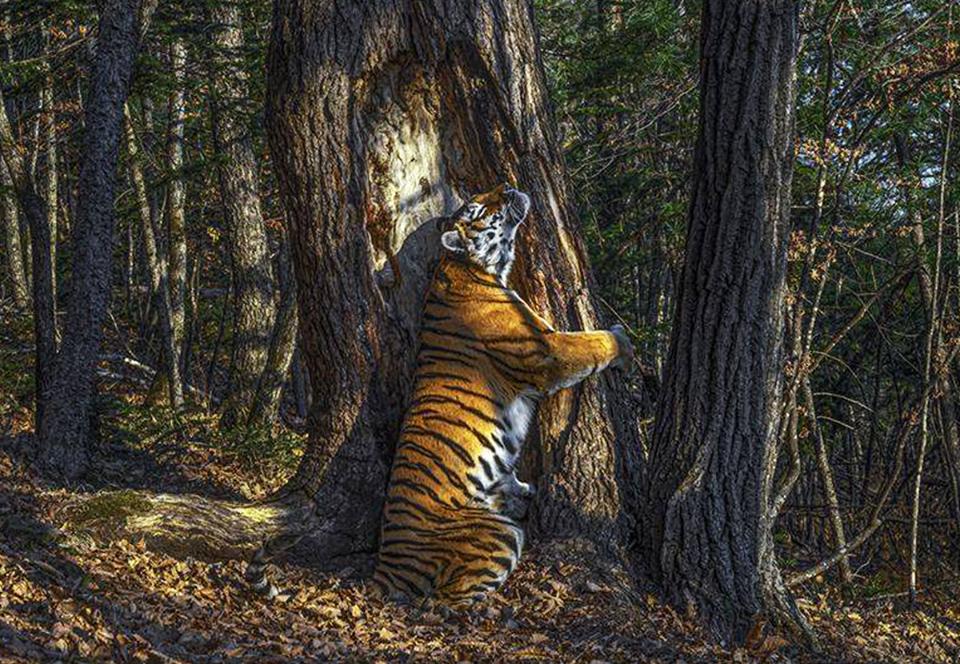 В фотоконкурсе дикой природы победила тигрица, ласкающая дерево.Вокруг Света. Украина