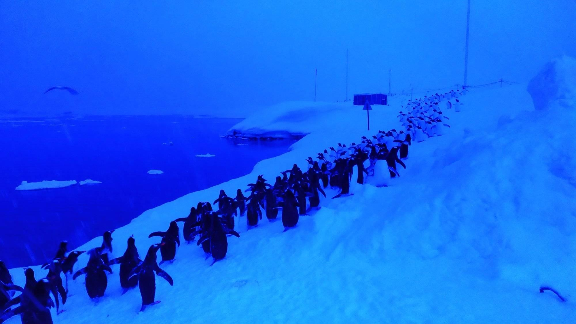 В Антарктике пингвины становятся в очередь, чтобы нырнуть за крилем.Вокруг Света. Украина
