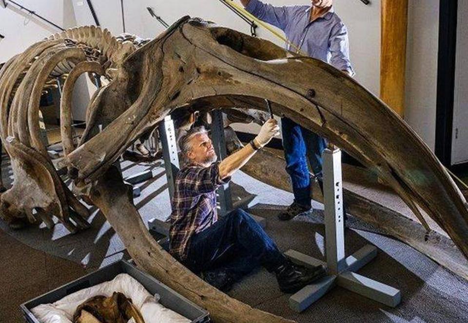 В английском музее демонтируют огромный скелет кита