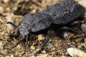 Раскрыт секрет жука, которого не может раздавить автомобиль
