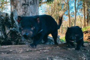 Спустя 3000 лет тасманские дьяволы возвращаются на материковую Австралию