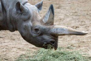 В Германии усыпили старейшую в мире самку черного носорога