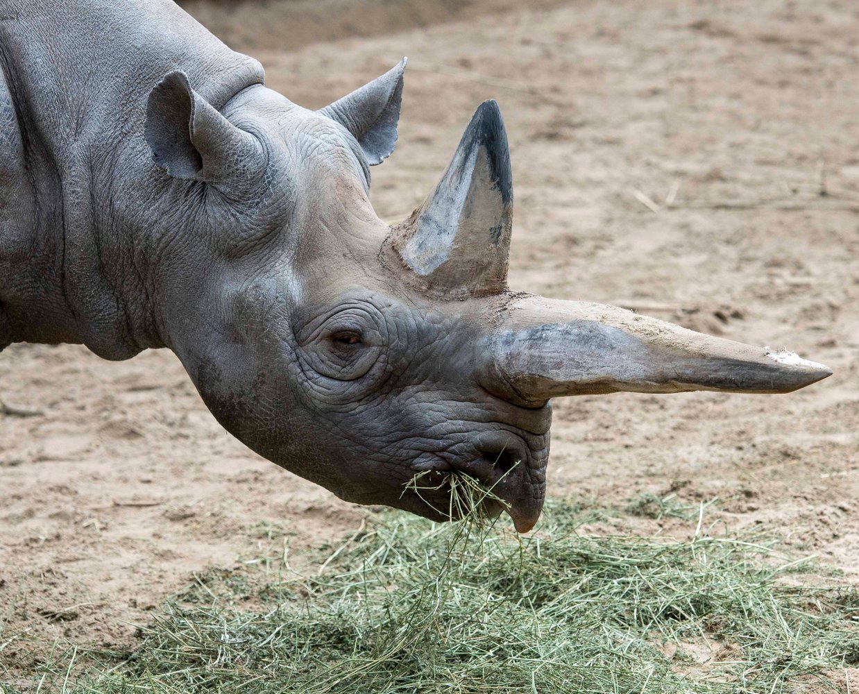 В Германии усыпили старейшую в мире самку черного носорога.Вокруг Света. Украина