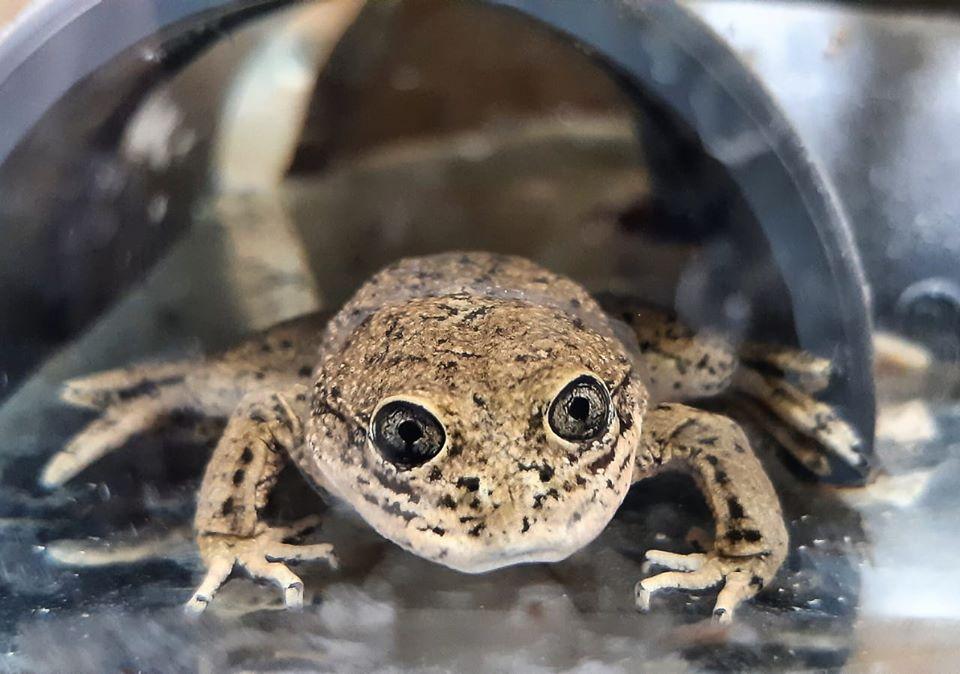 В Чили спасенные от вымирания лягушки лоа дали первое потомство