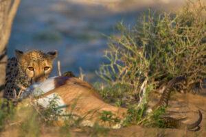 В ЮАР сняли на видео схватку гиен, диких собак и леопарда за добычу