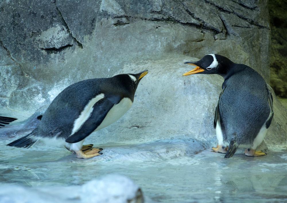 В Нидерландах пингвины-геи выкрали яйцо у пингвинов-лесбиянок в зоопарке