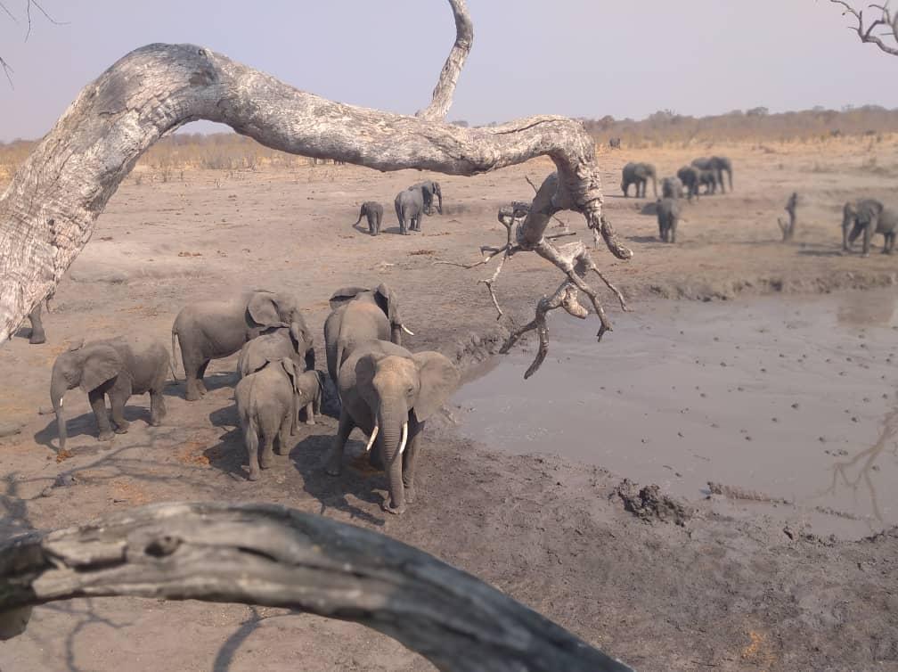 Смерть слонов в Зимбабве вызвана бактериальным заболеванием