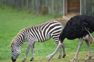 В Великобритании страус решил, что он зебра, и бросил свою стаю