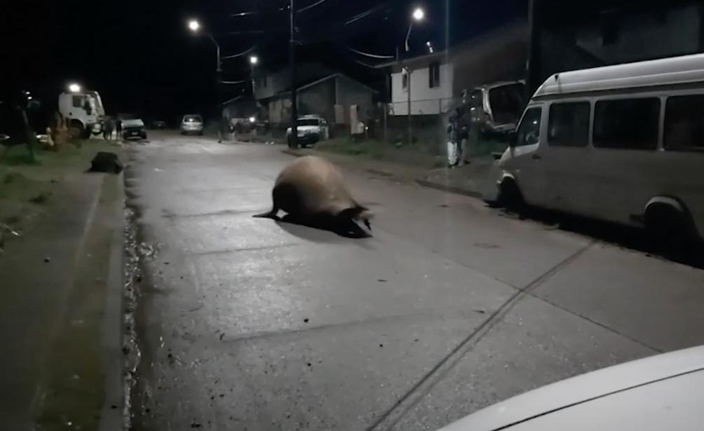 Жители чилийского городка помогли заблудившемуся тюленю вернуться в море