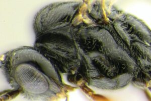 Осу-паразита назвали в честь COVID-19