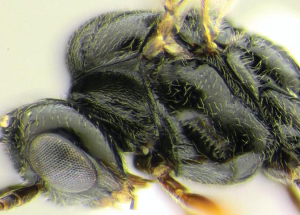 Осу-паразита назвали в честь COVID-19.Вокруг Света. Украина