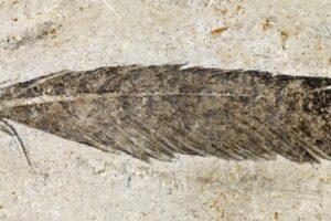 Древнейшее ископаемое перо принадлежит динозавру-археоптериксу