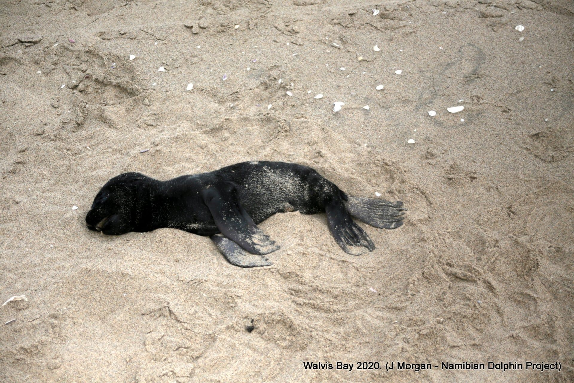 В Намибии на побережье нашли тысячи мертвых тюленей
