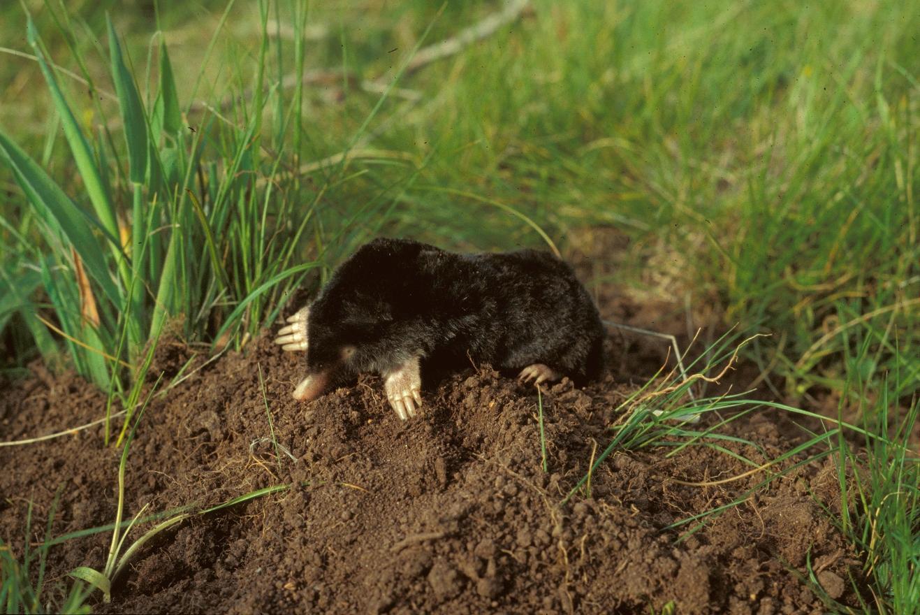 Жизнь под землей настолько сурова, что самкам кротов пришлось кое-что отрастить.Вокруг Света. Украина