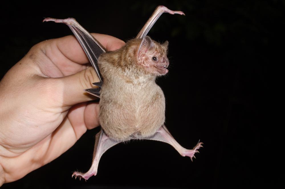 Больные летучие мыши дистанцируются от здорових сородичей