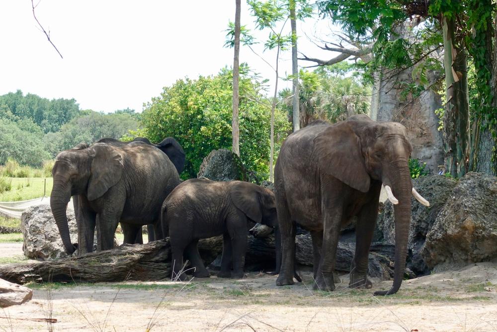 Берег слоновой кости может остаться без слонов