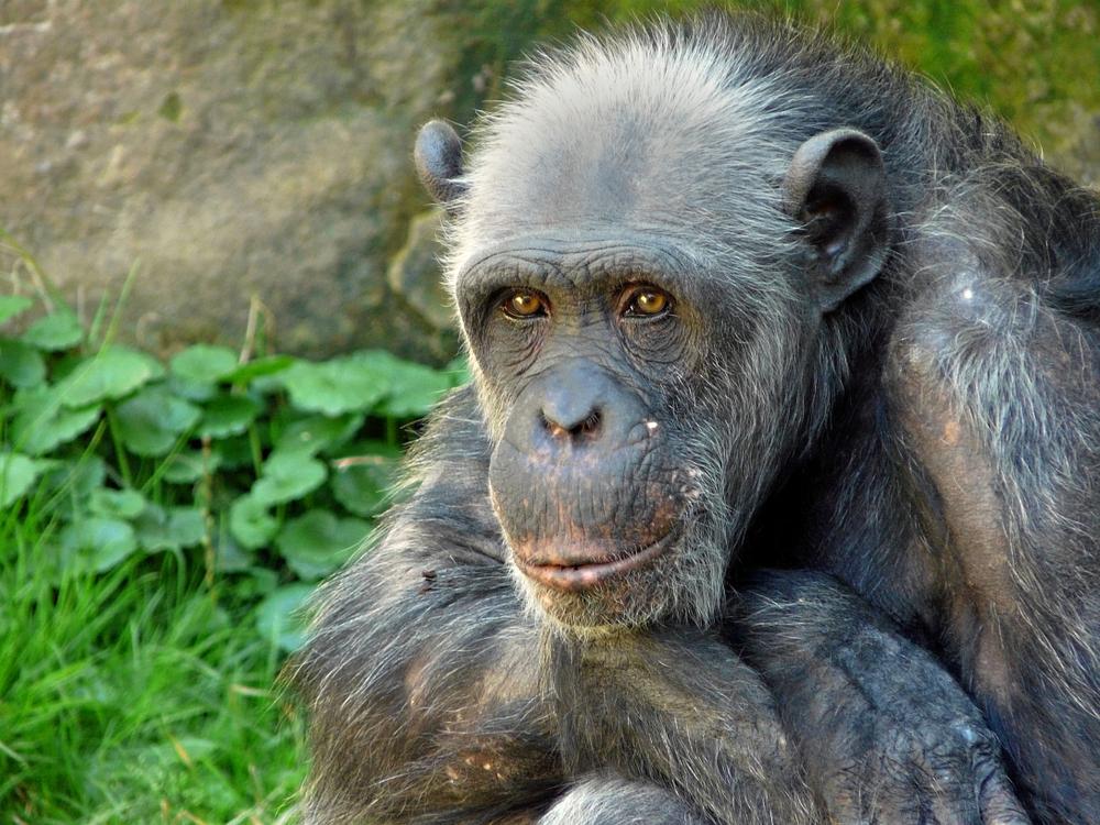 Шимпанзе, как и люди, не заводят друзей в старости.Вокруг Света. Украина