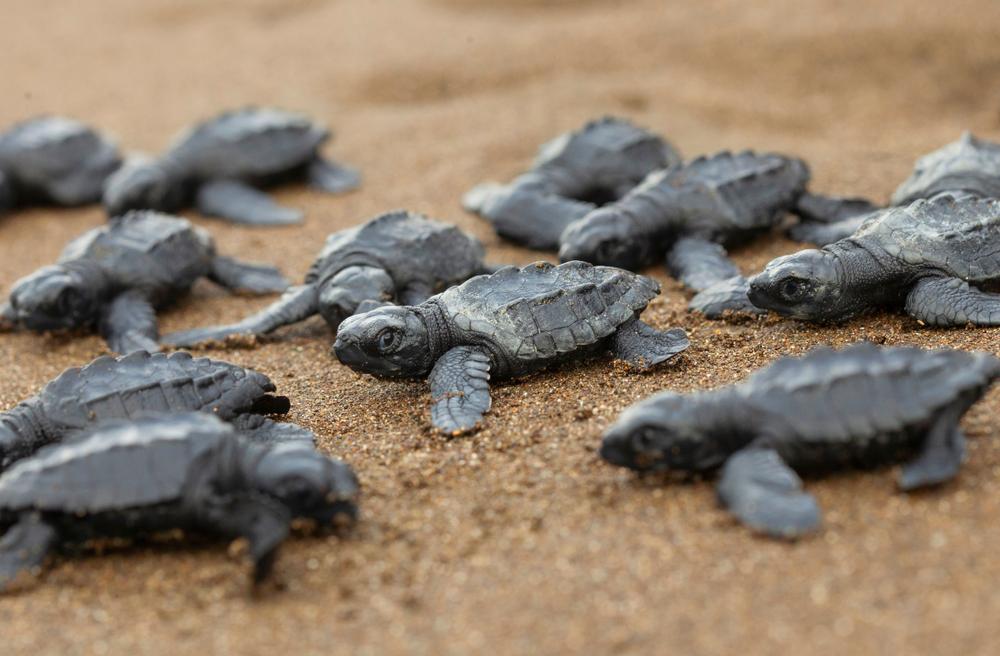 В Мексике вылупилось рекордное количество оливковых черепах.Вокруг Света. Украина