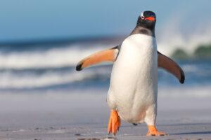 Почему у пингвинов походка вразвалку