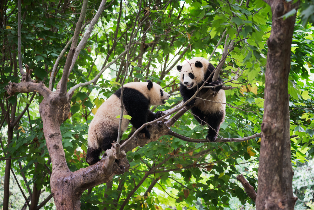 Диких панд впервые запечатлели на видео во время спаривания