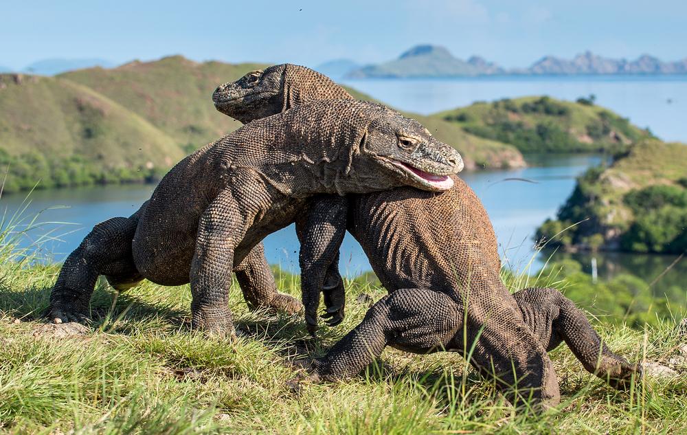 «Парк Юрского периода» на индонезийском острове: как сохраняют комодских варанов