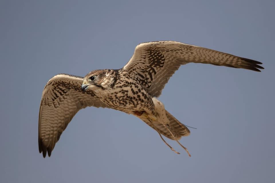 В Саудовской Аравии продали самую дорогую охотничью птицу в мире