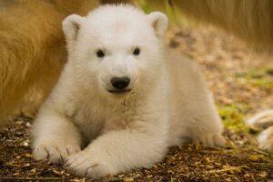Знаменитый белый медвежонок Британии впервые путешествовал