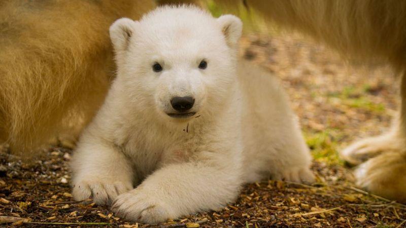 Знаменитый белый медвежонок Британии впервые путешествовал.Вокруг Света. Украина