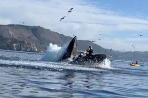 В Калифорнии горбатый кит чуть не проглотил каякеров
