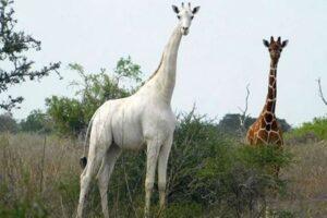 Единственного в мире белого жирафа снабдили GPS-трекером