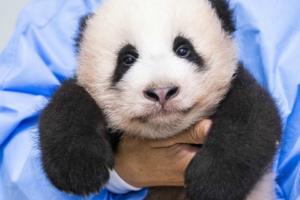 Первую панду, рожденную в Южной Корее, показали публике