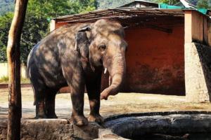 Самый одинокий слон мира меняет неволю на дикую природу