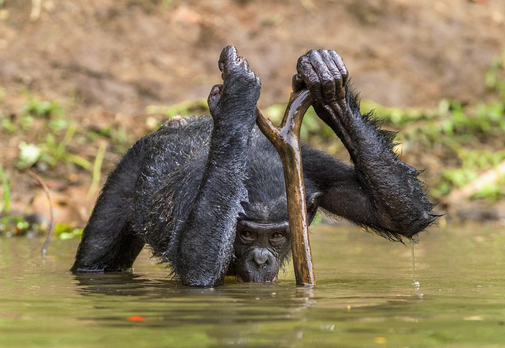 В уникальном племени шимпанзе пополнение: родила единственная плодовитая самка